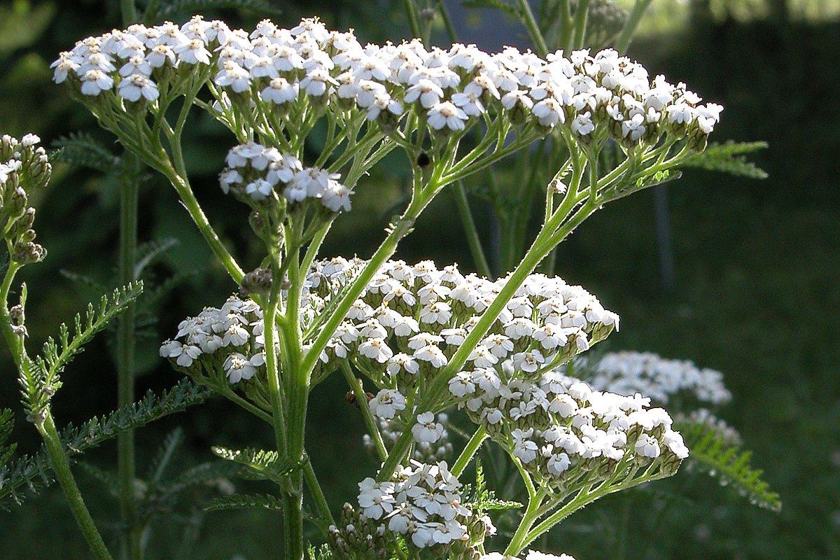 Schafgarbe als Heilpflanze   AWL.ch