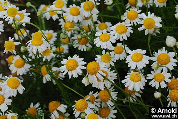 Lieblings Römische Kamille - Chamaemelum nobile - AWL.ch #IP_71