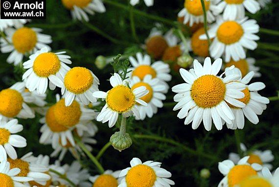 Lieblings Römische Kamille - Chamaemelum nobile - AWL.ch @HF_72