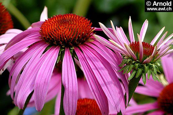 sonnenhut echinacea purpurea. Black Bedroom Furniture Sets. Home Design Ideas