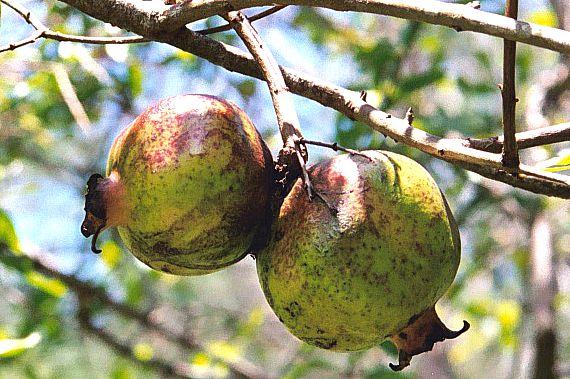 Etwas Neues genug Granatapfel, Grenadine - Punica granatum - AWL.ch #XJ_36